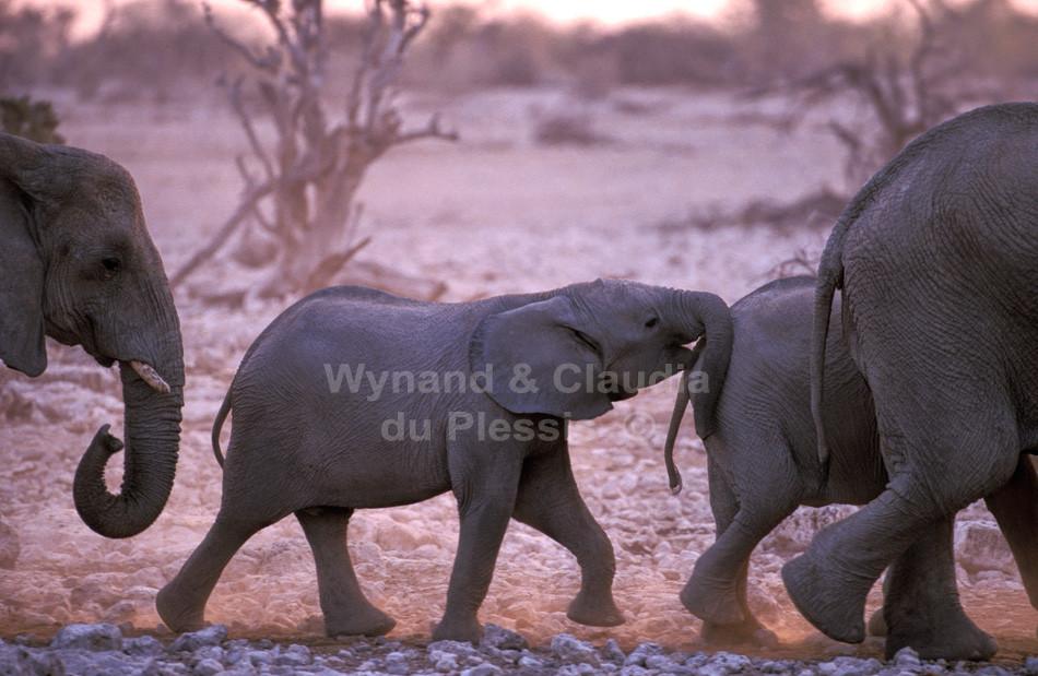 Elephant calf marching playfully in herd, Etosha National Park, Namibia