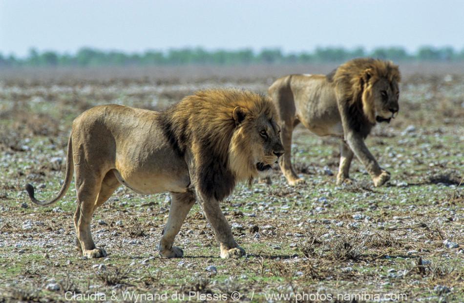 [Image] Male lions patrolling their territory, Etosha, Namibia