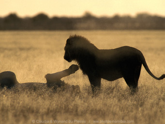 The Super Cats of Etosha [part 1]: Meet the Mighty Lion
