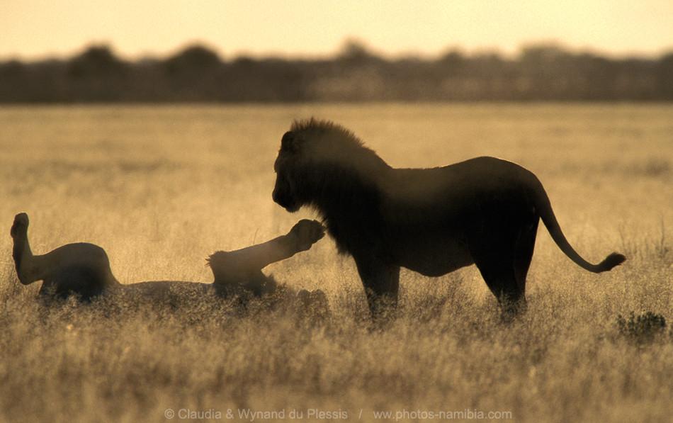 [Image] Male lions play early morning, Etosha, Namibia