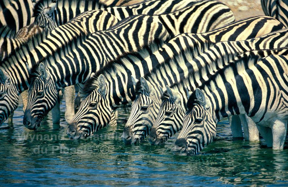 zebra drink at a waterhole, Etosha National Park, Namibia
