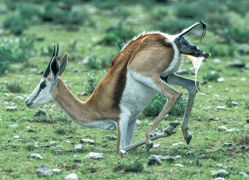 A springbok ewe is about to give birth