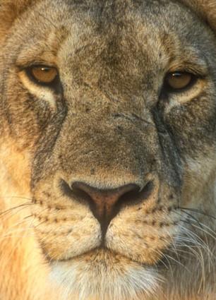 lioness close-up, Etosha, Namibia