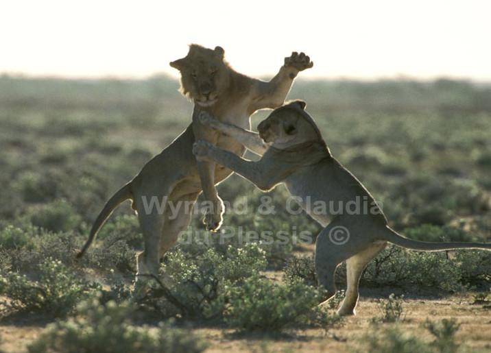 Lion youngster play-fighting in Etosha, Namibia