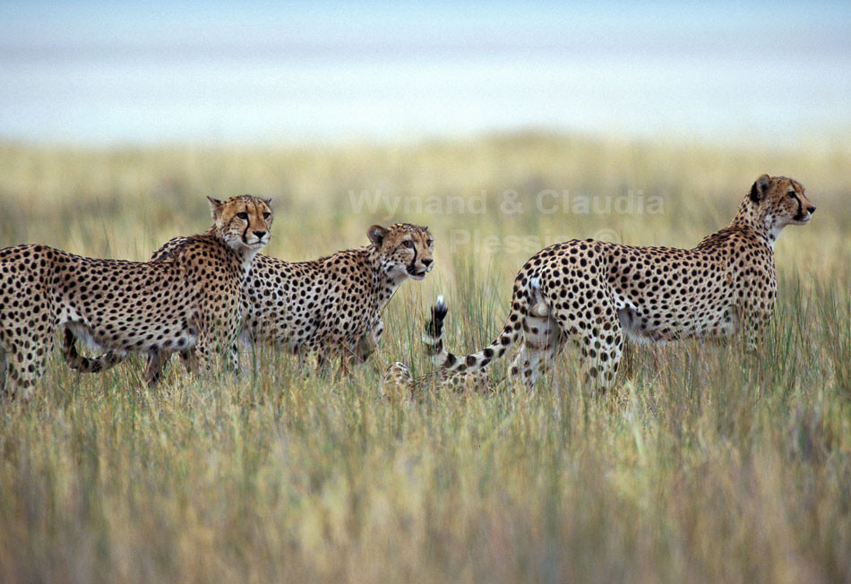 Cheetah group patrolling the Etiosha Pan's edge on the look-out for prey, Namibia