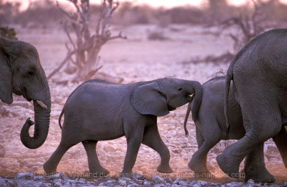 A small elephant calf pushes another youngster on their march towards a waterhole, Etosha, Namibia