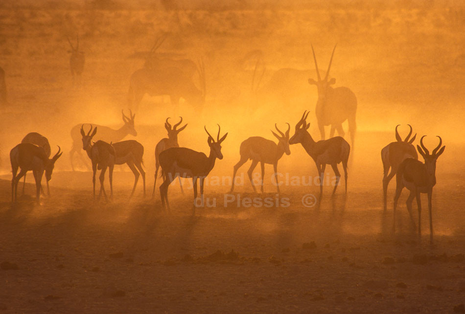 Springbok and Oryx Antelopes at sunset in the Etosha National Park, Namibia | © Claudia du Plessis