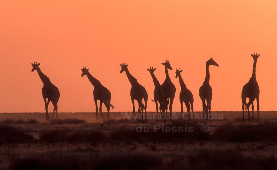 Herd of giraffe on the plains of the Etosha National Park | © Claudia du Plessis