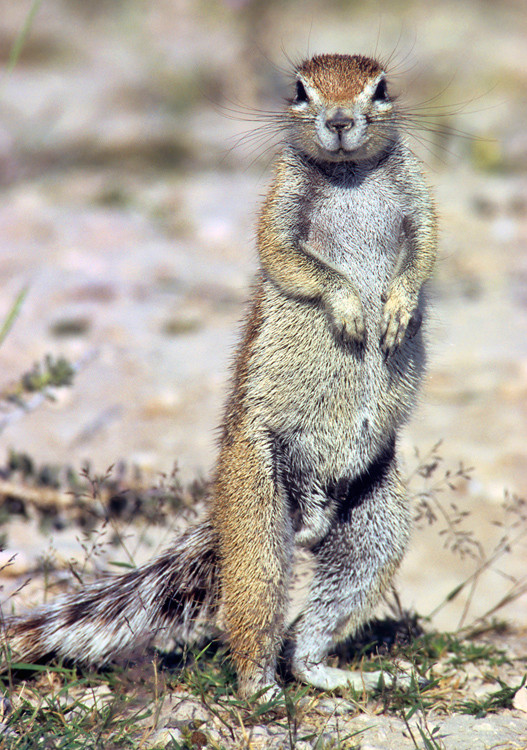 Squirrel surveys the area and checks us out, Etosha, Namibia