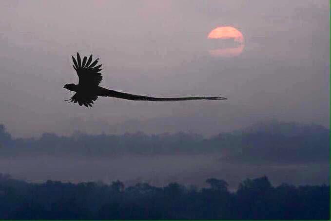Un Quetzal volando, su silueta asemeja una serpiente emplumada