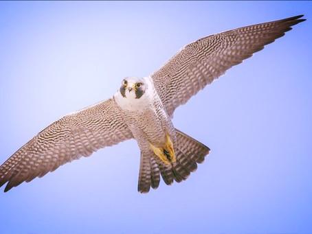Coz - il falco