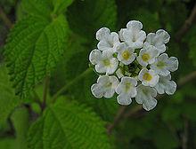F come Flor de Orégano