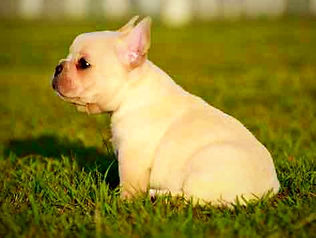 French Bulldog Puppies For Sale, Sunshine Coast, Queensland, Australia, Brindle, Cream, Fawn, Blue, Oceancrest French Bulldogs, Cream Blue French Bulldog at Stud