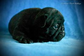 French Bulldog Puppies For Sale, Sunshine Coast, Brisbane, Queensland, Australia, Brindle, Fawn, Pied, Oceancrest French Bulldogs