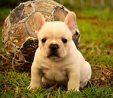 French Bulldog Puppies For Sale, Sunshine Coast, Brisbane, Queensland, Australia, Brindle, Fawn, Cream, Red, Pied, Oceancrest French Bulldogs, French Bulldog Stud Dogs