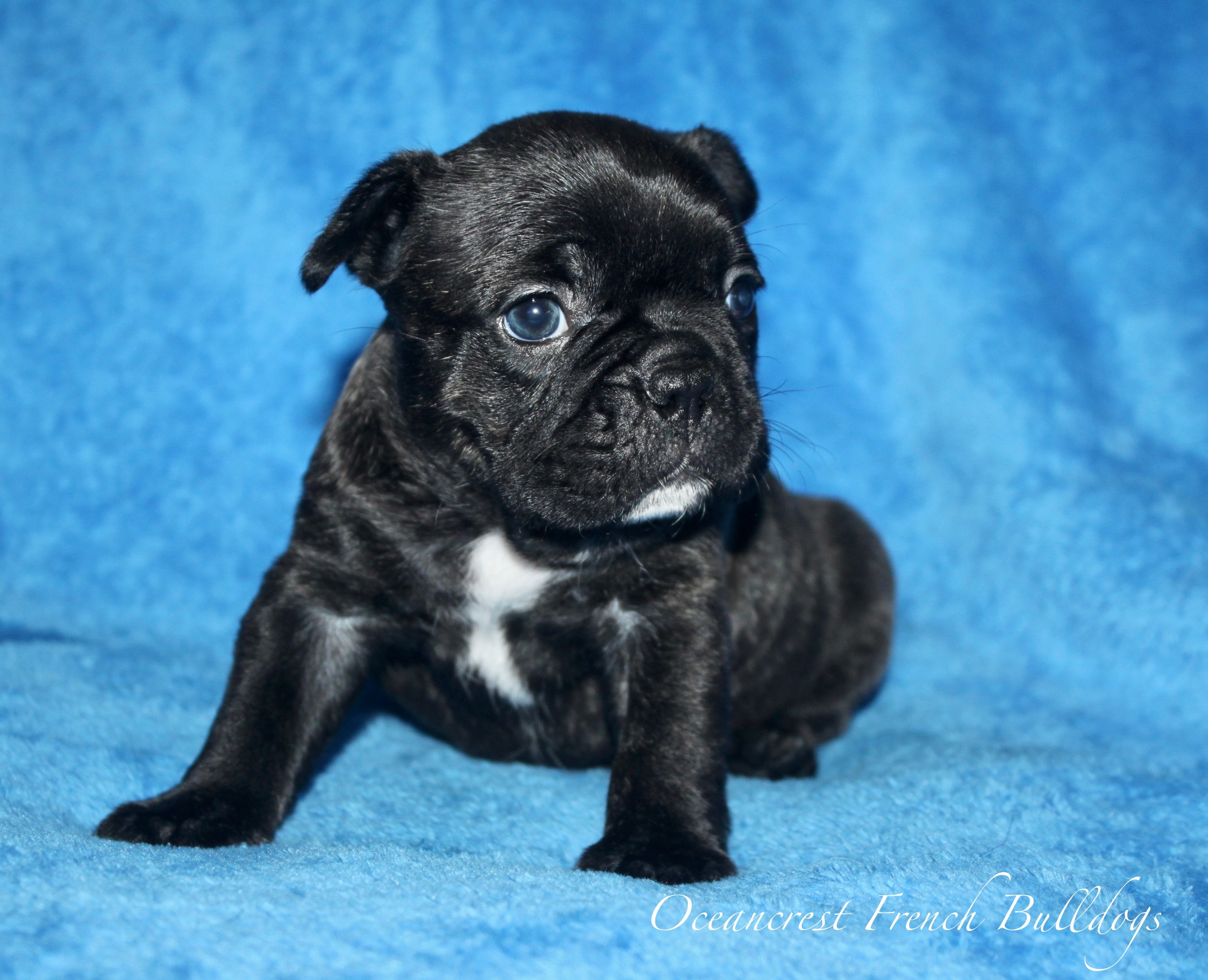 French Bulldog Puppy For Sale