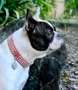 French Bullog For Sale, Oceancrest French Bulldog