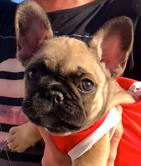 Fawn with black mask French Bulldog puppy, Oceancrest Honour, Sunshine Coast, Queensland, Australia