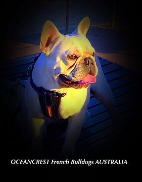 French Bulldog Puppies For Sale, Sunshine Coast, Queensland, Australia, Brindle, Cream, Fawn, Blue, Oceancrest French Bulldogs, Cream Fawn French Bulldog at Stud