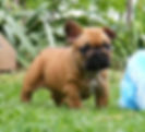 Red Fawn with black mask French Bulldog puppy, Oceancrest Honour, Sunshine Coast, Queensland, Australia