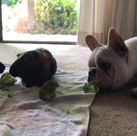 Oceancrest's Daisy The French Bulldog & her Guinea Pig Friends