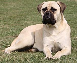 French Bulldog Puppies For Sale, Sunshine Coast, Queensland, Australia, Brindle, Cream, Fawn, Blue, Oceancrest French Bulldogs, Cream Blue French Bulldog at Stud