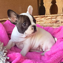 French Bulldog Puppies For Sale, Sunshine Coast, Brisbane, Queensland, Australia, Brindle, Fawn, Cream, Red, Pied, Oceancrest French Bulldogs