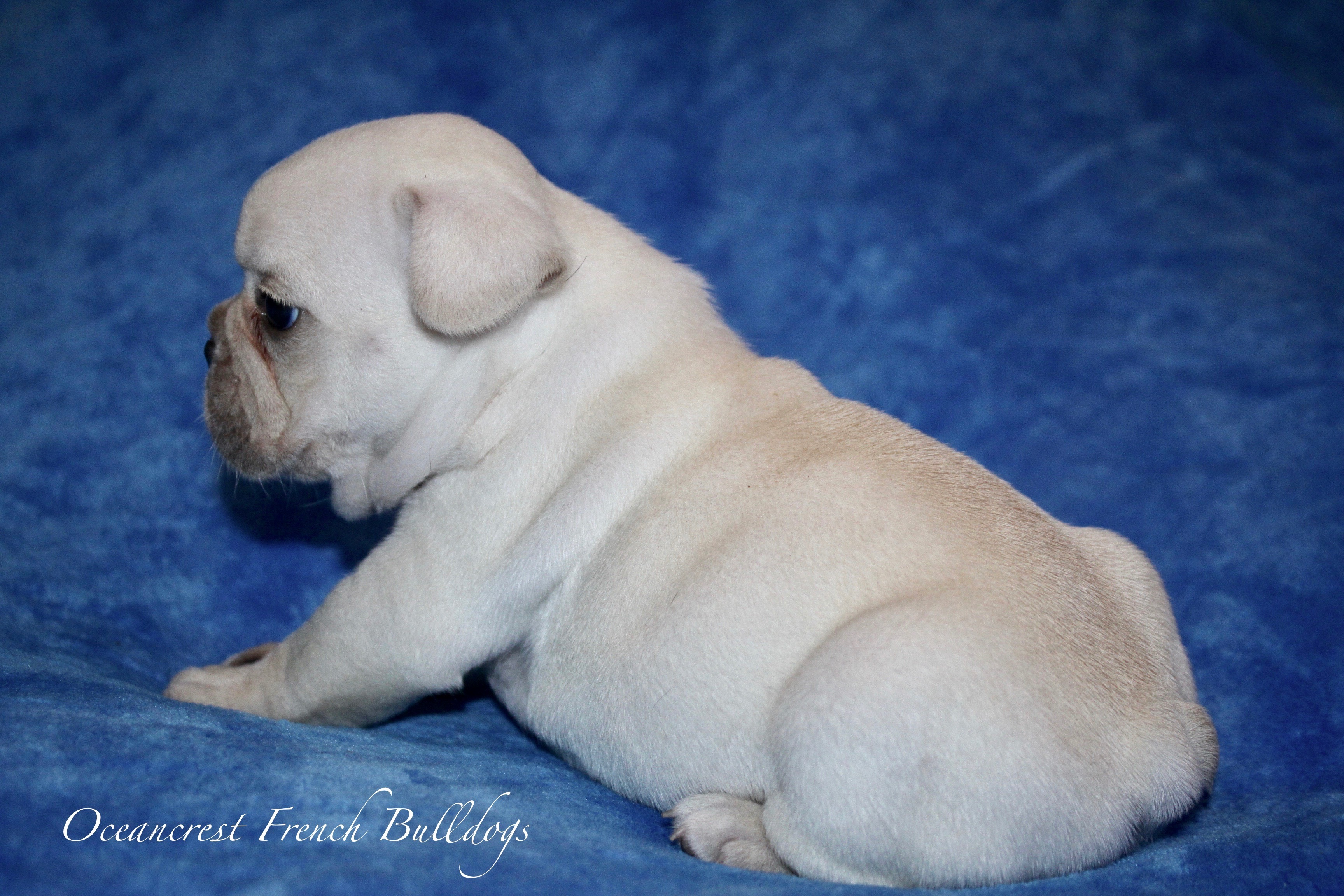 Cream French Bulldog Puppy For Sale
