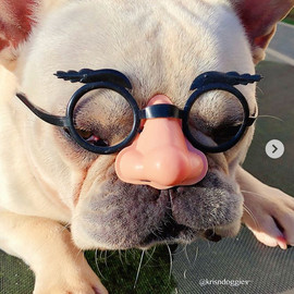 Oceancrest Butter the French Bulldog in disguise 😎