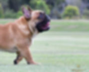 GOLD-SIERRA OLYMPIAN, French Bulldog Puppies For Sale, Sunshine Coast, Brisbane, Queensland, Australia, Brindle, Fawn, Pied, Oceancrest French Bulldogs
