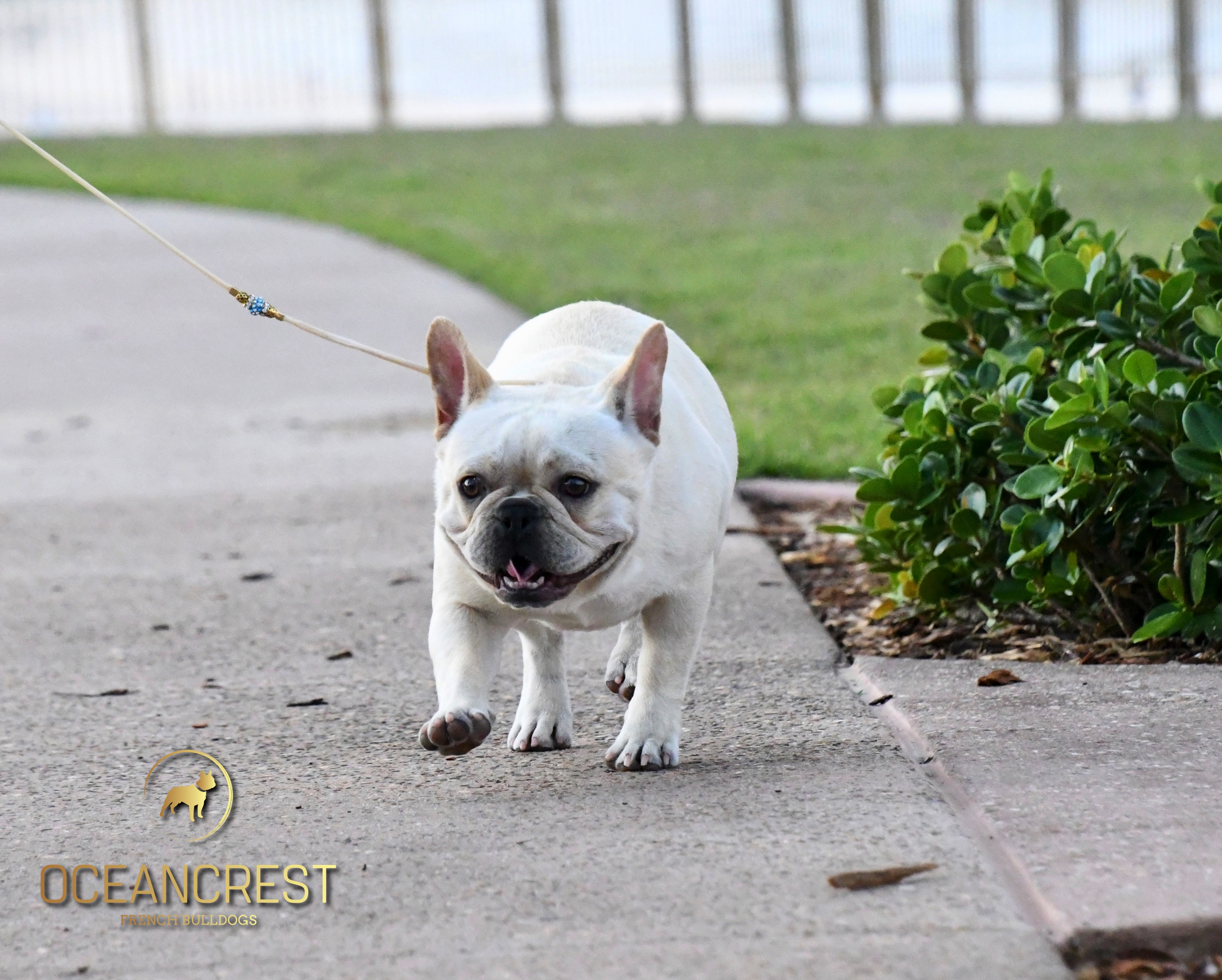 PAC-MAN, Oceancrest French Bulldogs