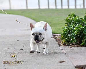 PAC-MAN, French Bulldog Puppies For Sale, Sunshine Coast, Brisbane, Queensland, Australia, Brindle, Fawn, Pied, Oceancrest French Bulldogs, French Bulldogs Stud Dogs