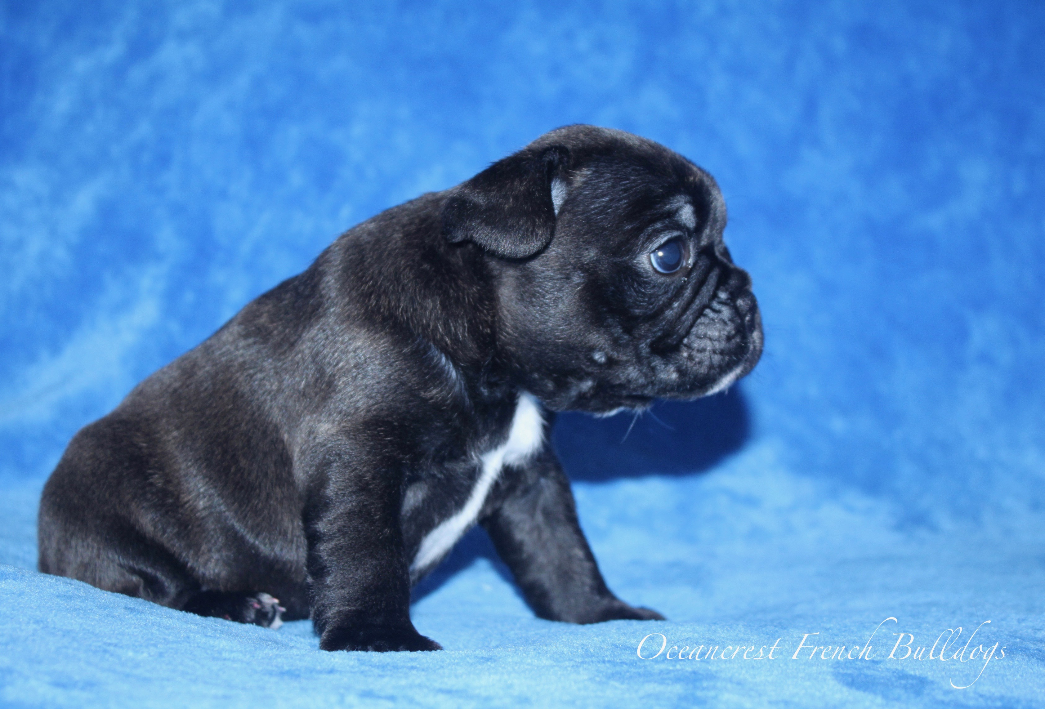 French Bulldogs Puppy For Sale