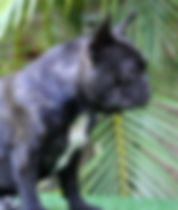 French Bulldog Puppies For Sale, Sunshine Coast, Brisbane, Queensland, Australia, Brindle, Fawn, Cream, Red, Pied, Oceancrest French Bulldogs