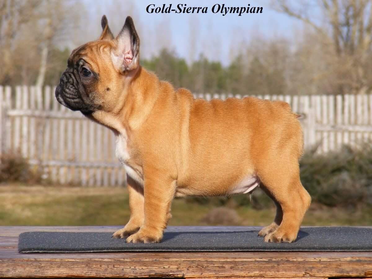 GOLD-SIERRA OLYMPIAN (IMP HUN)