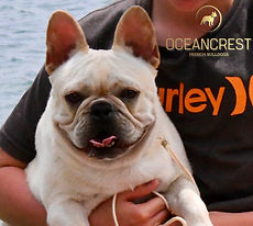 PAC-MAN, Fawn ANKC Fremnch Bulldog Stud, French Bulldog Puppies for sale, QLD, Australia, Oceancrest French Bulldogs
