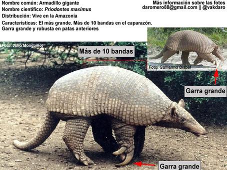 Identificando armadillos en Ecuador