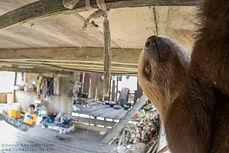 Sloth, oropouche virus reservoir