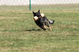 Quen was bred to Britt Bojovnik – Puppies expected Feb.2017