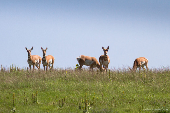 Antilopes d'Amérique