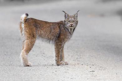 Lynx, Gaspsie