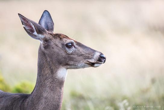 Cerf de Virginie, Gaspésie