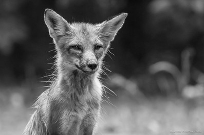 Maman renard aux aguets