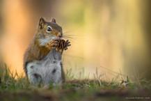 Écureuil roux / Base de plein air Ste-Foy