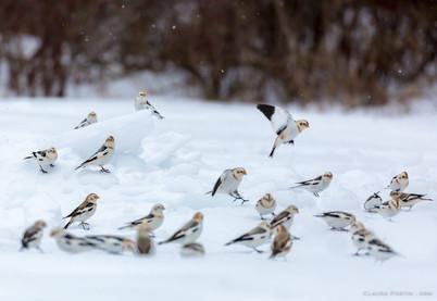 Bruants des neiges