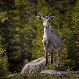 Jeune Caribou mâle, espèce menacée !