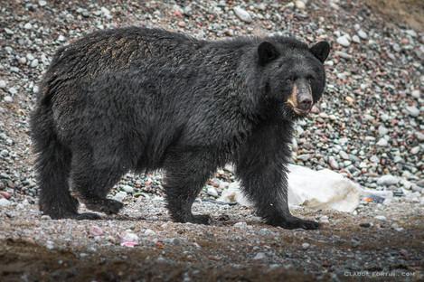 Ours noir, nord du Québec