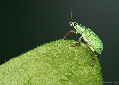 Petit charançon vert