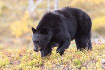 Ours noir dans la région de Charlevoix, Québec