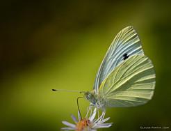 """Petit papillon """"Piéride du chou »"""